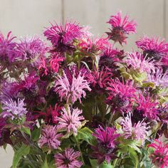 Panorama Mix - Monarda Seed | Johnny's Selected Seeds Bulb Flowers, Dried Flowers, Bee Balm Plant, Growing Seeds, Flowers Perennials, Garden Seeds, Edible Flowers, Flower Seeds, The Balm
