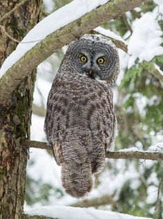 animalfunwithnature:  Great Gray Owl Backward Stare by: (Bill McMullen)