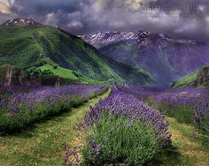 Purple Fields--Fairy Tales by Nature Lavender Cottage, Lavender Blue, Lavender Fields, Lavender Flowers, Lavander, Beautiful World, Beautiful Places, Beautiful Pictures, Growing Lavender
