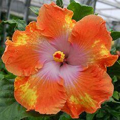 Exotic Hibiscus 'Maui Dancer'