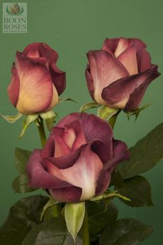 Coffee Break   Coffee Break is a brown/terracotta rose with earth tones. It is a bi-coloured rose with burnt orange inner petals and mustard outer petals As the large bloom opens, the combination of the colours creates an image of a darker and more elegant rose. http://www.boonroses.com.au/product.php?id=116