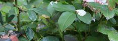 La taille les rosiers est un geste que l\'on pratique souvent sans savoir pourquoi. Découvrez nos explications et conseils pour bien tailler vos rosiers ! Plant Leaves, Plants, Gardens, Bud, Plant, Planets