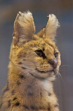 serval Сервал (Leptailarus serval)