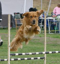 Agility Dog by Gerhard