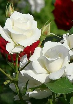 White roses for a loved one gone.among the stars.always in my heart ~ All Flowers, Amazing Flowers, White Flowers, Red Roses, Pretty Roses, Beautiful Roses, Parfum Rose, Rosa Rose, Growing Roses