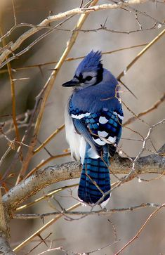 Blue Jay, by Mark Trabue Pretty Birds, Love Birds, Beautiful Birds, Animals Beautiful, Exotic Birds, Colorful Birds, Kinds Of Birds, Wild Creatures, Bird Drawings