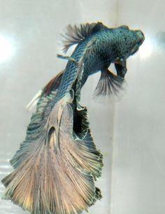 Beta Fish @Emily Schoenfeld Rivera I WANT IT!