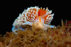 Horned Nudibranch by Peter Liu Photography, via Flickr ;)