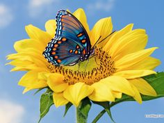 Related image Butterfly Images, Butterfly Flowers, Flower Images, Flower Pictures, Blue Butterfly, Beautiful Butterflies, Bday Flowers, Butterfly Wings, Beautiful Flowers