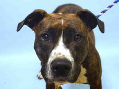a1091519 BOBBIE ***DOH HOLD – B***  FEMALE, BR BRINDLE / WHITE, AM PIT BULL TER MIX, 4 yrs SEIZED – ONHOLDHERE, HOLD FOR DOH-B Reason BITEPEOPLE Intake condition EXAM REQ Intake Date 09/27/2016, From NY 10468, DueOut Date09/30/2016, I came in with Group/Litter #K16-075871.  Medical Behavior Evaluation ORANGE Medical Summary BARH scan negative mild tartar clean EEN clean coat female nervous, resisted hand, tried to bite NOSF Weight 48.2