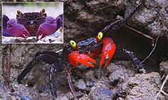 Do you have a pet VAMPIRE crab? Researchers find two creepy crustaceans sold as pets are actually new species http://www.dailymail.co.uk/sciencetech/article-3001024/Do-pet-VAMPIRE-crab-Researchers-two-creepy-crustaceans-sold-pets-actually-new-species.html
