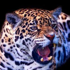'Leopard Portrait' on Picfair.com