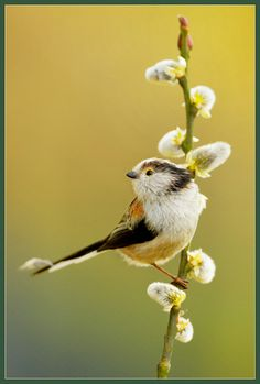 elegant posed Long-Tailed Tits, by Flicker_hvhe1