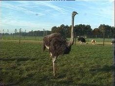 Struisvogels leggen de grootste eieren ter wereld! Heb jij weleens gezien hoe jonge struisvogeltjes uit hun ei komen?