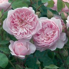 Wisley 2008 - David Austin Roses