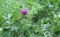 Γαϊδουράγκαθο το τέλειο αποτοξινωτικό της φύσης προστασία του συκωτιού από λοιμώξεις, κατανάλωση αλκοόλ ή χημειοθεραπείες αντικαρκινική, καρδιοπροστατευτική