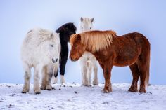 Gathering on another Winterday - A group of Icelandic Horses gathering to keep each other warm when another cold wind started to grow.