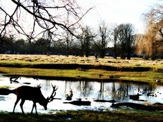 Peter Denton posted a photo:  A peaceful moment in Bushy Park, Teddington.  The Park is the gem in Teddington's crown. It covers 445 hectares (1,100 acres) and is the second largest of London's eight Royal Parks. Very near Hampton Court Palace, the park is home to some 300 free-roaming deer. Within the park are woods, gardens, ponds and extensive grassland, as well as a formal baroque water garden.  The Bushy Park site has been settled for at least 4,000 years. A Bronze Age barrow and burial…