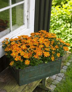 adelaparvu.com despre crinzantema la ghiveci, chrysanthemum, text Carli Marian (11)