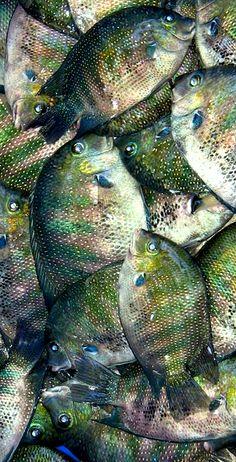 karimeen aka pearlspot aka green chromide aka etroplus suratensis aka the awesomest fish of kerala backwaters