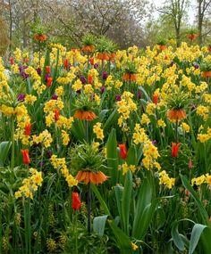 Fritillaria imperialis rubra maxima, lutea maxima, purple tulips and daffodils - what a sight! Purple Tulips, Bulb Flowers, Spring Garden, Daffodils, Dawn, Plants, Bulbs, Gardening, Flowers