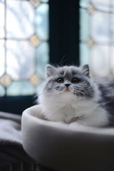 "beauty-belleza-beaute-schoenheit: ""Beautiful long-haired grey & white kitty: - http://weheartit.com/entry/272101981 """