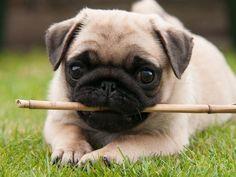 Mine loves to bring in big stick through doggy door.