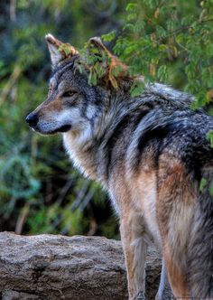 brutalgeneration:  Mexican Wolf - HDR Version (by _Allen_)------- WE have to protect THEM, SADLY!! :/ YET GREAT PHOTO!!