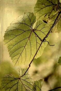 Trinity Grape Leaves Print By Amy Neal