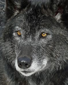 Black wolf photographed at the Calgary zoo