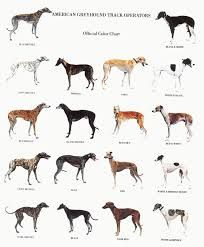 greyhounds - Google Search