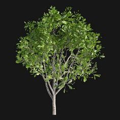 Magnolia x soulangeana Pine Bonsai, Florence Art, Metal Ceiling, Office Set, Plant Decor, Magnolia, Herbs, Model, B&b Italia