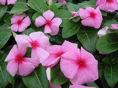 100 Bulk Vinca Seeds Vinca Cora Strawberry Seeds by nurseryseeds