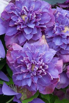 Diamantina double blue clematis flowered vine, I love blue flowers in a garden, here you will find every blue flower with photos Blue Clematis, Clematis Flower, Clematis Vine, Climbing Plants Fast Growing, Climbing Vines, Beautiful Flowers Garden, Pretty Flowers, Purple Flowers, Marigold Flower