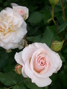 David Austin's French Lace Roses