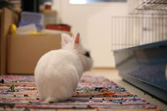 fluffy white rabbit, very cute