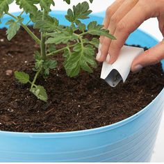 plants wilting Make a Tomato Tub Sow Your Lettuce Seeds when the weather turns too hot for these cool-loving salad greens, the heat-seeking tomato plant will appreciate the extra elbowroom. Cover the seeds with about inch of potting mix Growing Tomatoes In Containers, Succulents In Containers, Growing Vegetables, Patio Tomatoes, Grow Tomatoes, Vertical Vegetable Gardens, Vegetable Gardening, Gemüseanbau In Kübeln, Tomato Plants