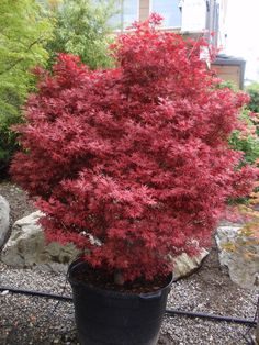 Acer palmatum 'Elizabeth', 2016, Whitman Farms