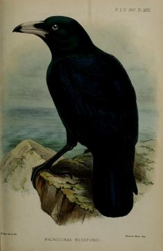 White-billed crow, Proceedings of the Zoological Society of London, 1887.