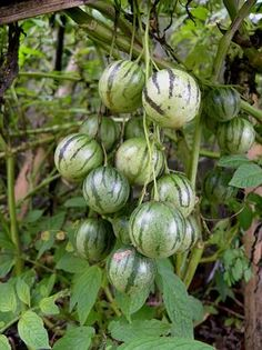 Tzimbalo (Solanum caripense) is a very rare fruit quite similar to pepino but with smaller, rounded fruit