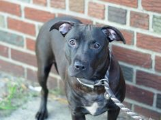 TO BE DESTROYED 8/16/14 Brooklyn Center -P  **PUPPY ALERT **My name is COCO. My Animal ID # is A1009280. I am a female black and white pit bull mix. The shelter thinks I am about 11 MONTHS old.  I came in the shelter as a OWNER SUR on 08/04/2014 from NY 11212, owner surrender reason stated was OWNER SICK.
