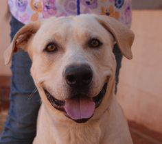 Michael loves to shake paws, give hugs, and join you for walks.  We love his sunny disposition and enthusiasm!  Michael is a Yellow Labrador Retriever mix, 2 years young and neutered, housetrained, and debuting for adoption today at Nevada SPCA (www.nevadaspca.org).  Michael was at another shelter and there were concerns about him being aggressive with small dogs.  Fed separately, Michael is getting along well here with another large dog.
