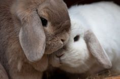 Milk and white chocolate bunnies