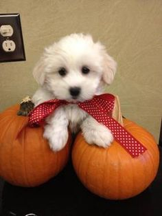 Adorable Maltese Poodle his name is Autumn Teacup Puppies, Cute Puppies, Cute Dogs, Dogs And Puppies, Maltese Poodle, Maltese Puppies, All Small Dog Breeds, Small Dogs, Adorable Animals