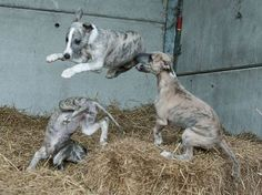 grey pups