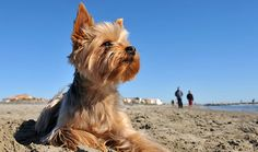 portrait of a purebred yorkshire terrier on the beach, walkers in the background , Dog Photos, Dog Pictures, Perros Yorkshire Terrier, Cute Puppies, Dogs And Puppies, Low Maintenance Dog Breeds, Pet Dogs, Dog Cat, Puppy Stages
