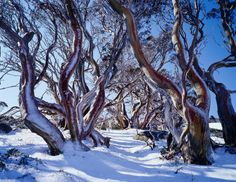 """Charlotte Pass, New South Wales Snow gums"" Belongs on my Australian board too. These gums are just so beautiful. S."