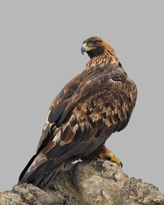 Aquila chrysaetos - Golden Eagle -- Possibly sighted: West Glacier, MT Harpy Eagle, Bald Eagle, Different Types Of Eagles, West Glacier, Golden Eagle, Birds Of Prey, Raptors, Falcons, Bird Feathers