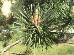 40m`ye kadar boylanabilen, 300yıl kadar yaşayabilen iğne yapraklı bir ağaçtır. Gövde tilki kuyruğunu andırır alacalı sarı renkte, kabuk levhalar halindedir.  Yapraklar tek kın içerisinde ikili iğne şeklinde, mavi-yeşil, kıvrık, sık dizilmiş, genellikle 4–5 cm uzunlukta, uçları sivridir. Yapraklar genellikle 2-3 yıl, nadir olarak da 4-5 yılda bir yenilenir. Tek evciklidir. Erkek çiçekler sürgün dibinde, sarı, turuncu, pembe renkte, kozalakcık demeti şeklinde, dişi çiçekler 2-4mm boyda…