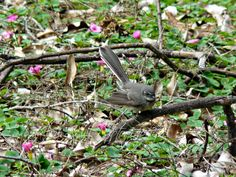 Female wagtail wren, by Beverley Thompson